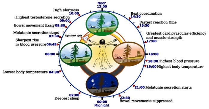 The human biological circadian clock (image from Wikipedia)